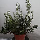 그리핑로즈마리|Rosemary