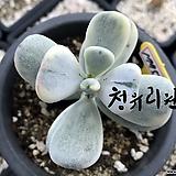 방울복랑금1775|Cotyledon orbiculata cv variegated