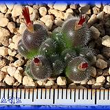 Conophytum stephanii Helmutii 스테파니 헬무티 (12두)|