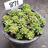 리틀잼1017-871|Cremnosedum Little Gem (Crassulaceae)