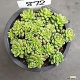 리틀잼1017-872|Cremnosedum Little Gem (Crassulaceae)