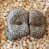 C.obcordellum v.ceresianum stayneri 세레시아넘 스테이너리 (분채배송) 