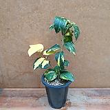 [진아플라워] 잎색도 고운 유원동백 소형 340|