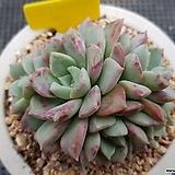 얼룩무늬색감이멋진)핑크스팟|