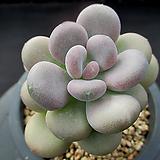 월미인 10-528|Pachyphytum oviferum Tsukibijin