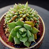 라밀라떼 철화 10-547|Echeveria Lamillette  f cristata