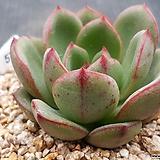 잎장두꺼운)살루|Echeveria Salu