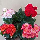 4색세트 장미베고니아|Begonia