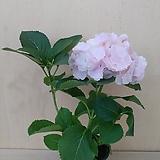 핑크수국 중품|Hydrangea macrophylla