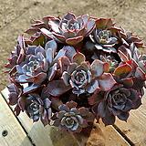 라우렌시스 (대품)(왕목질)(자연군생) 0146 1011 Echeveria Laulensis