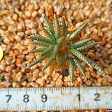 955 알스토니(백화)|Avonia quinaria ssp Alstonii