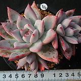 964 콜로라타아이스|Echeveria colorata