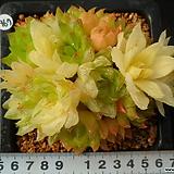 967 경화금|Haworthia cymbiformis f. variegata