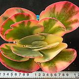 968 당인금|Kalanchoe thysifolia
