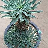 괴마옥10181|Euphorbia hypogaea