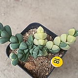 벽어연금10181|Corpuscularia lehmanni