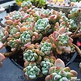 방글방글미소짓는  핑크라울 Sedum Clavatum