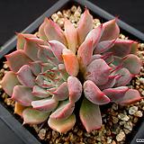 핑크자라고사 10-567|Echeveria mexensis Zaragosa