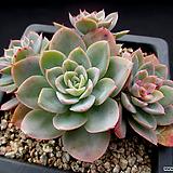 핑크베라 10-574|Echeveria Pink Vera