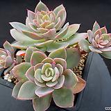 핑크베라 10-575|Echeveria Pink Vera