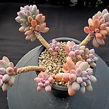 베이비핑거 묵둥이 10-582|Pachyphytum Machucae(baby finger)