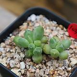 천대전송(금잎장에서번식한아이입니다)1035|Pachyphytum compactum