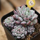 원종아모에나14|Echeveria amoena