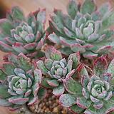 블랫블루아나묵은둥이|Echeveria bradburiana