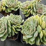 온슬로우 4개/4set|Echeveria cv  Onslow