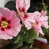 멀티피듐 씨앗 2립(흰색 + 핑크색)|Echeveria Tippy