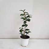 동백/공기정화식물/반려식물/온누리 꽃농원|