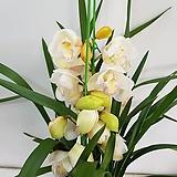 신비디움 흰색/공기정화식물/반려식물/온누리 꽃농원|