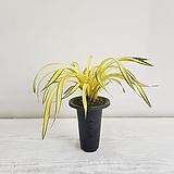황금강/공기정화식물/반려식물/온누리 꽃농원|