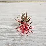 틸란/공기정화식물/반려식물/온누리 꽃농원|Tillandsia