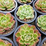 라즈아가|Echeveria agavoides sp