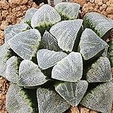 특모우피그마에아 오리지날군생|Haworthia pygmaea