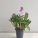 긴기아난/공기정화식물/반려식물/온누리 꽃농원|