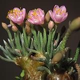 알스토니수입 씨앗 5립 ( 연 핑크)|Avonia quinaria ssp Alstonii