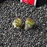 3999-C.ectypum ssp. cruciatum CR.1370  크루시아튬2두|