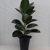 고무나무/공기정화식물/높이80센치정도|Ficus elastica