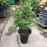 오렌지자스민 대품 야생화 공기정화식물 50~80cm