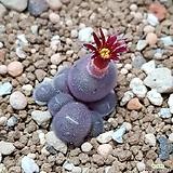 conophytum stephanii ssp. helmutii|