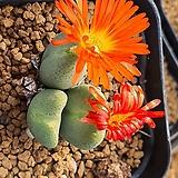 conophytumbilobum 빌로붐  ssp|