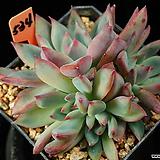 원종콜로라타 534|Echeveria colorata