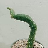 펜듈러스 (Senecio pendulus) 아프리카식물|