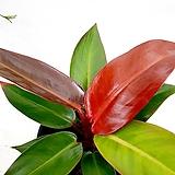 선명한 칼라 썬라이즈 콩고 레드콩고 실내식물 공기정화식물|