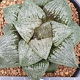 대형반구형 픽타|Haworthia picta