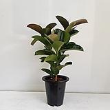 고무나무 가지/공기정화식물/반려식물/온누리 꽃농원|Ficus elastica