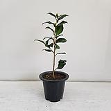 동백나무 흰색/공기정화식물/반려식물/온누리 꽃농원|