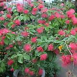 스리랑카자귀나무|